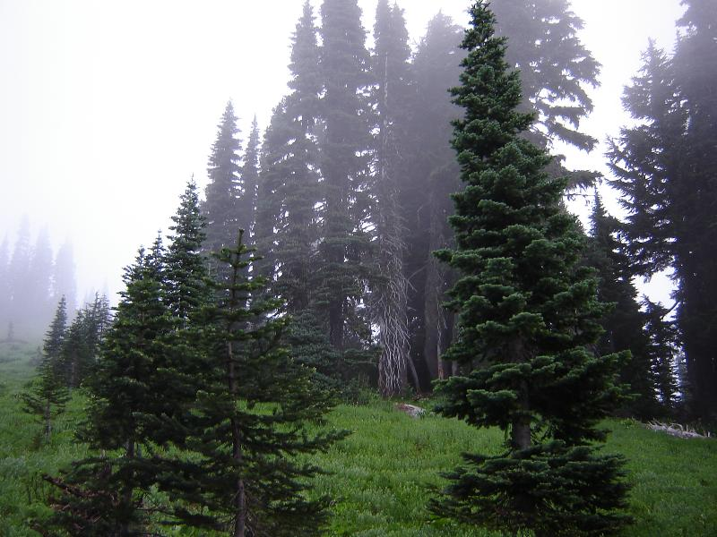 Trees of Mt. Rainer