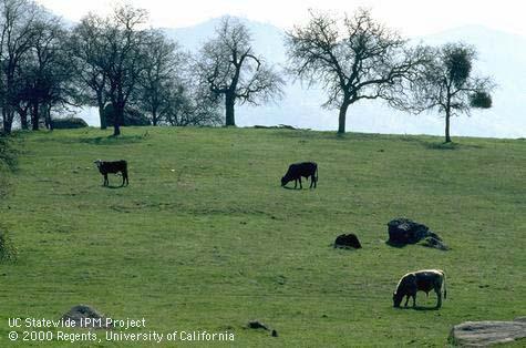 Cattle roaming oaks rangeland