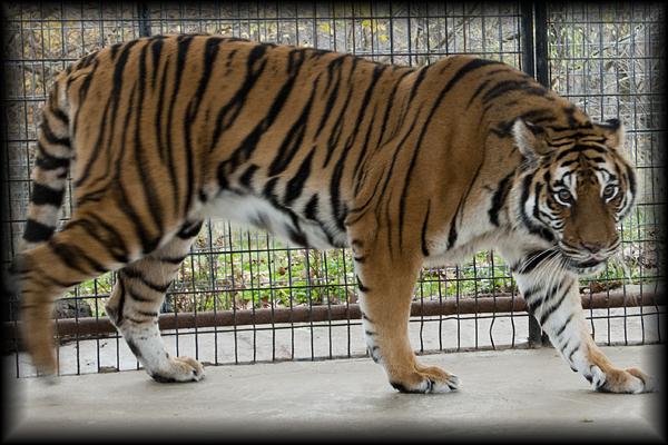 Sasha Tiger