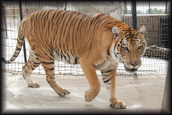 Noah the ti-liger
