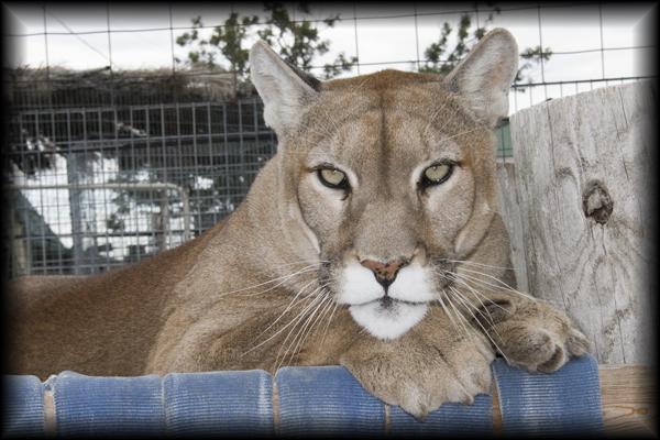 Zeus Cougar Photo