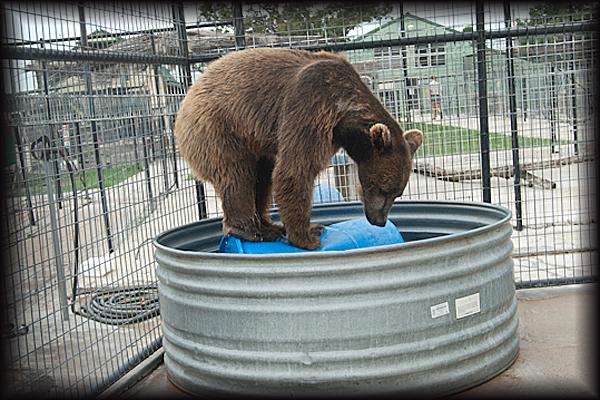 Bam Bam Bear standing on barrel in pool.