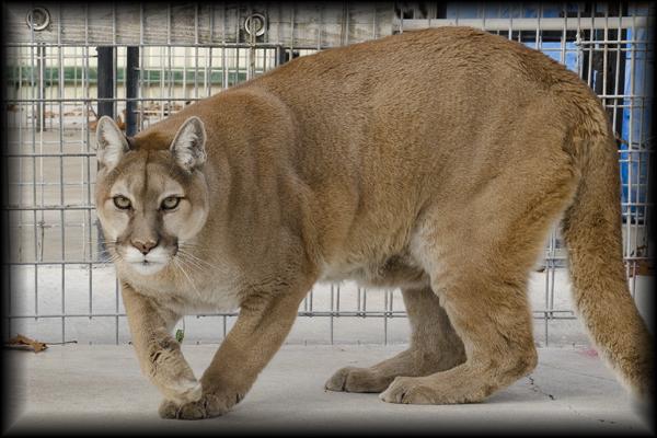 Sheba the Cougar
