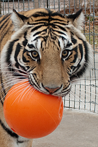 Tiger with boomer ball in his mouth