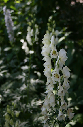 Monkshood - White
