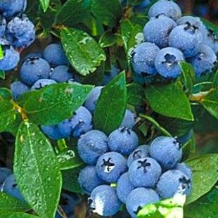 Blueberry - Vaccinium - 'Patriot'