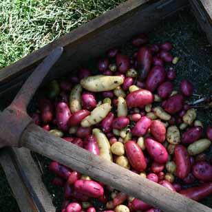 Potatoes 1 w pick