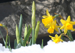 Narcissus in snow