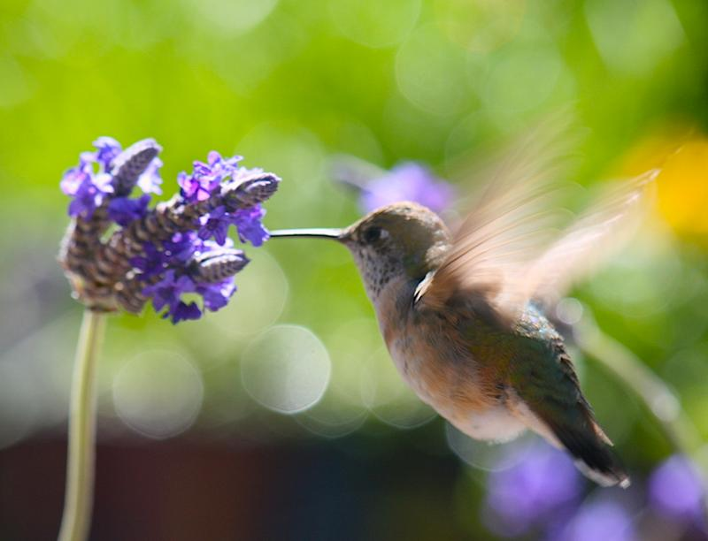 Hummingbird on annual cutleaf lavender
