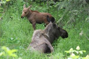 Moose&Calf