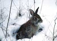 eastern cottontail in winter