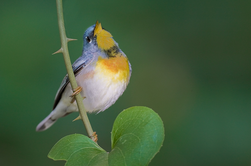 Northern Parula Singing Bill Tip