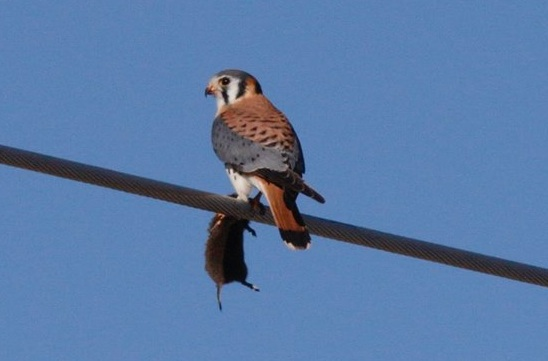 Kestrel with rodent