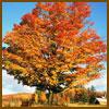 orange-tree-sm.jpg