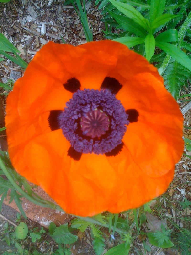 Poppy in Monterey