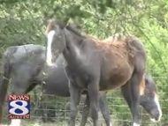 Will Nelson's horses