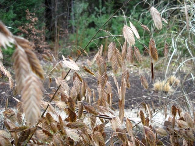 northern sea oats