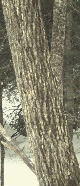 Cottonwoodcloseup