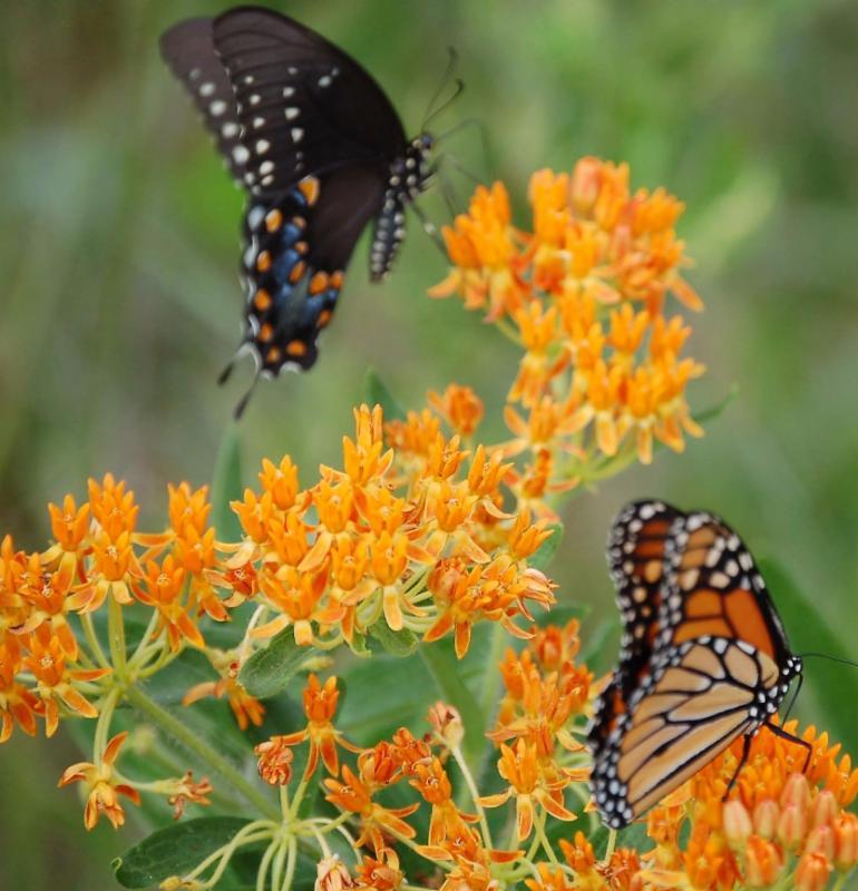 butterflies on milkweed_ bugmugs.org