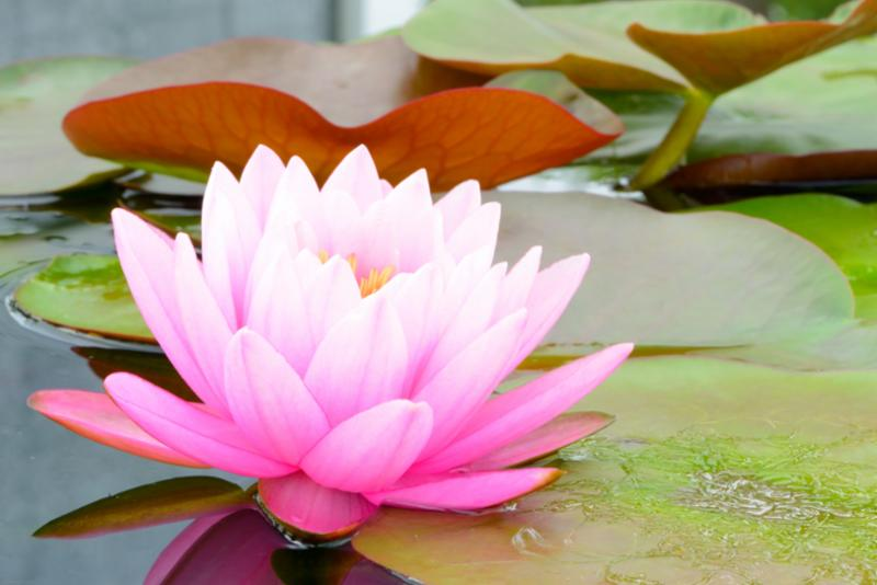 pink_lotus_flower.jpg