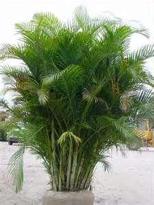 Arcea Palm