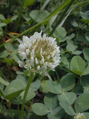 clover1