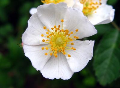 M rose