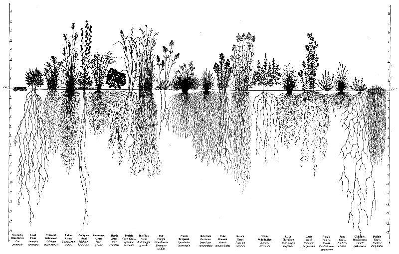 Prairie roots
