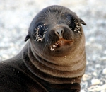 GPS baby sea lion GSC