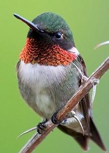 Ruby-Throated Hummigbird