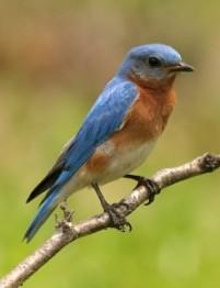 Bluebird in Summer