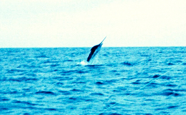 gary blue marlin