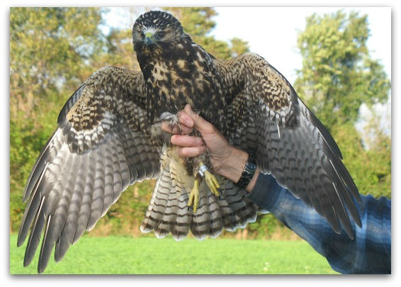 photo A. Nelson Cape May Raptor Banding Project