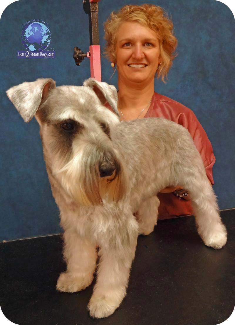 New grooming the pet miniature schnauzer for A perfect pet salon