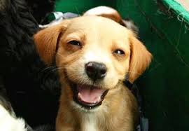 Smiling puppy