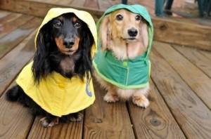 Two dogs standing side by side in raincoats