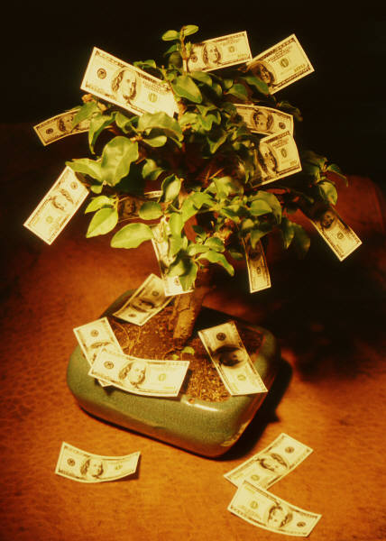 money tree bonsai