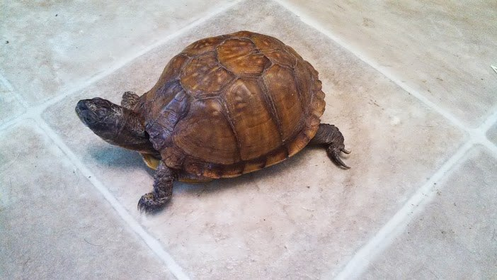 turtle michelle