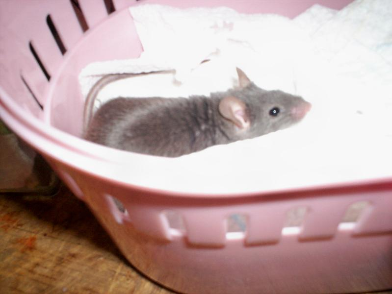 Remy Mouse