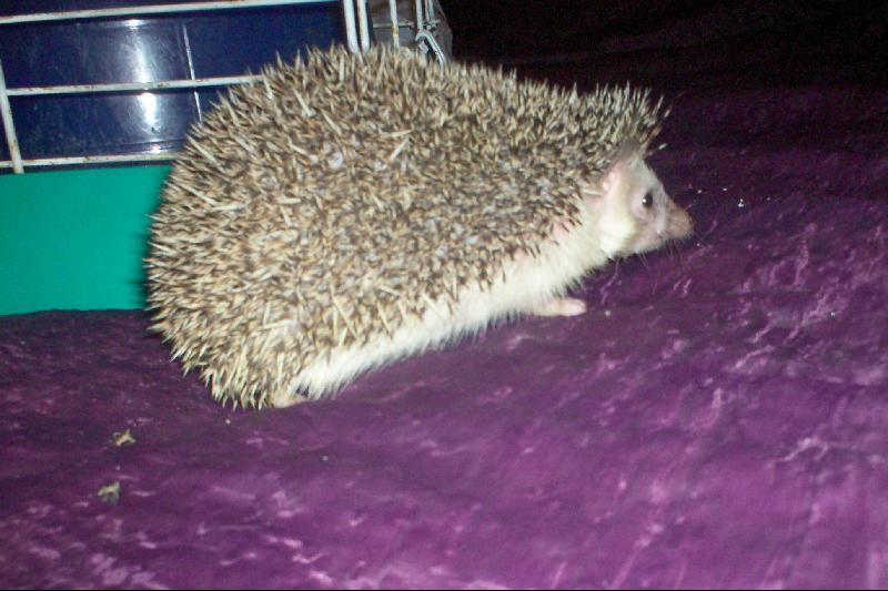 lucy hedgehog
