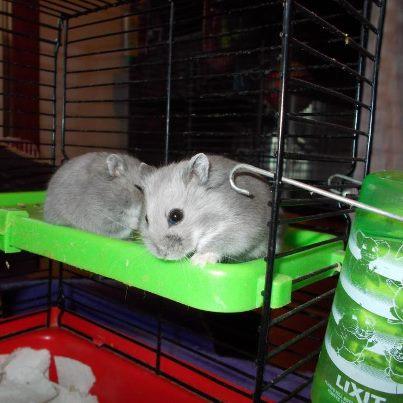 new hamsters