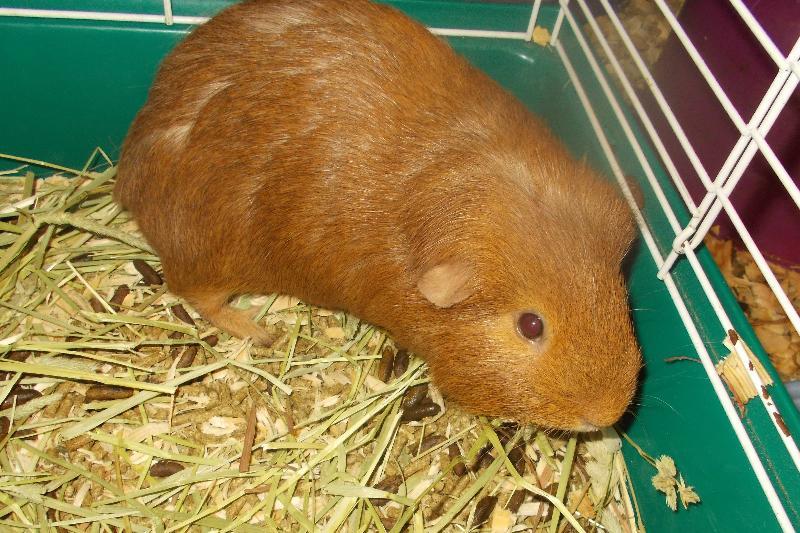 brownie g pig
