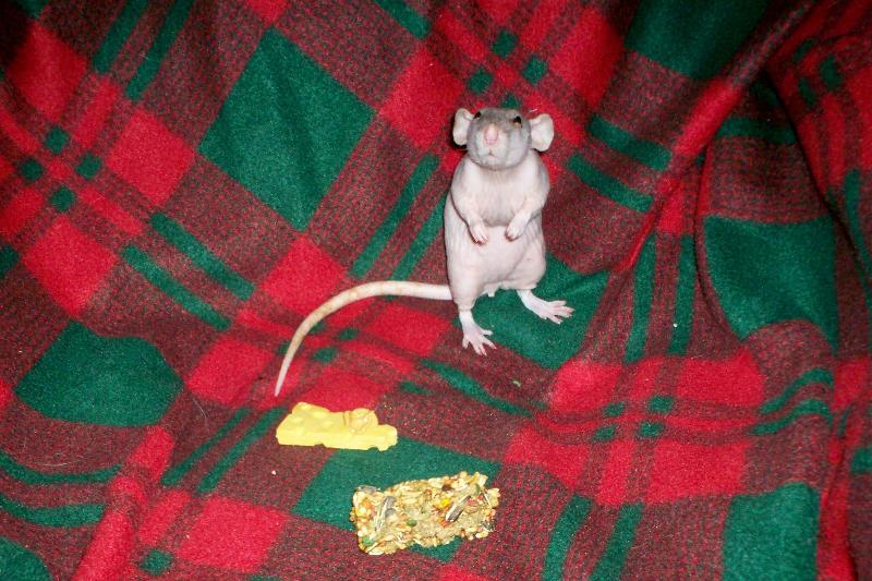 smidgen rat