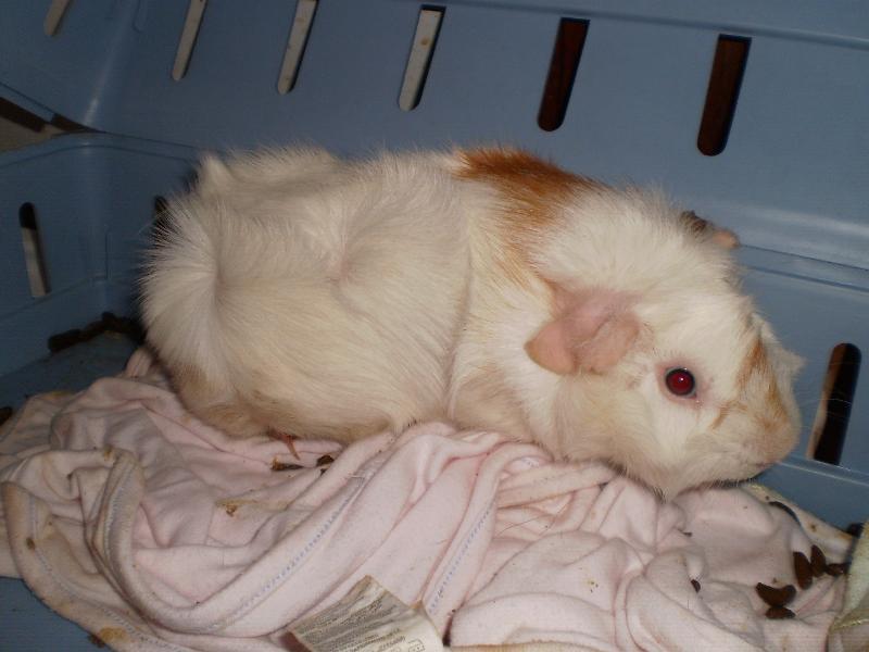 guinea pig viktor