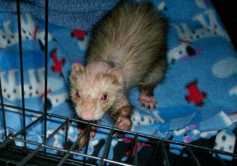 may rescue ferret