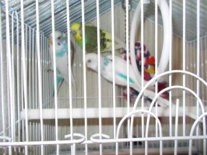 3 parakeets