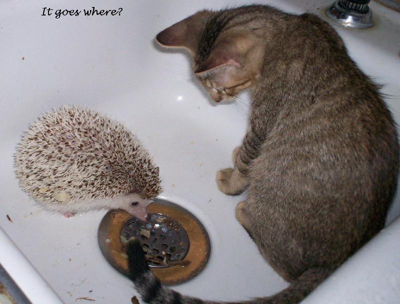 hedgie & kitty
