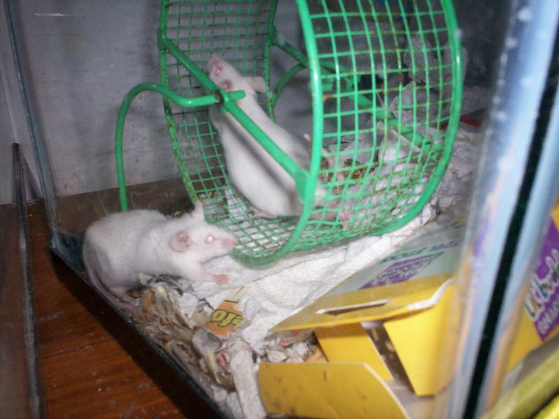 pregnant mice