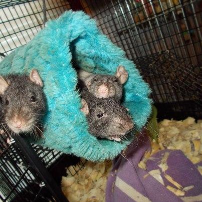 3 new girl ratties