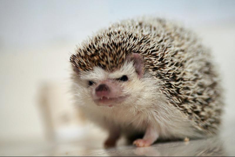 Prickleball the hedgehog